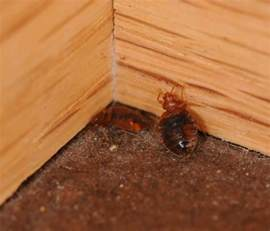 bed bug pictures high resolution images