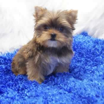 how much should i feed my yorkie puppy my terrier won t eat dogs in our photo