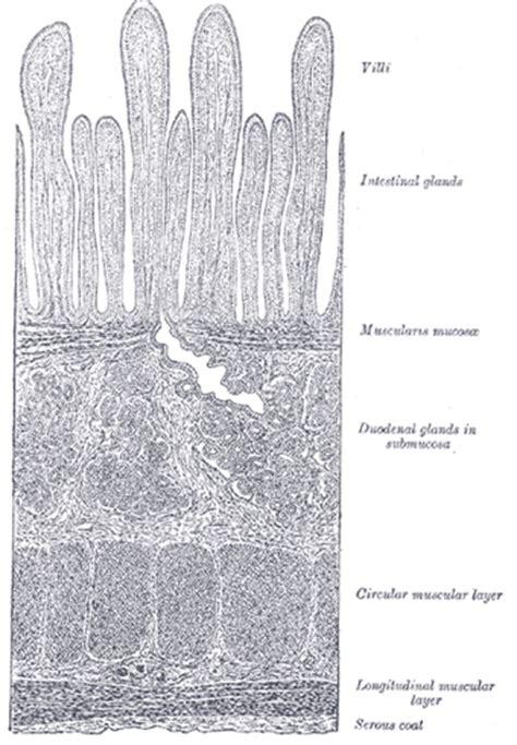 transverse section of ileum the small intestine human anatomy