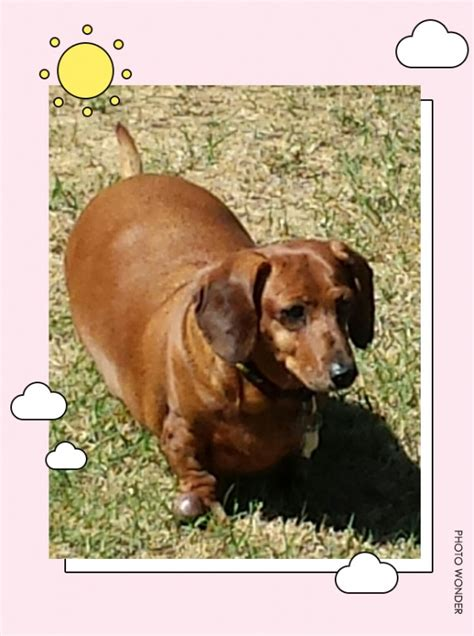 rescue pittsburgh dachshund rescue near pittsburgh dogs our friends photo