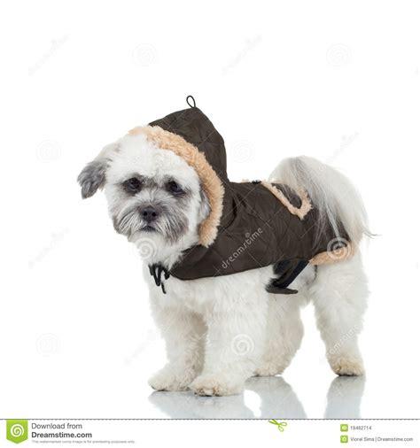 havanese clothes bichon havanese puppy stock images image 19462714