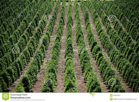 how to plant christmas tree farm tree farm stock image image of irrigate industry 42422207