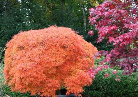 japanse tuin planten kopen de limieten kwekerij exclusieve bomen en planten