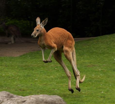 canguro mobili mobile kangaroo wallpapers hd pictures