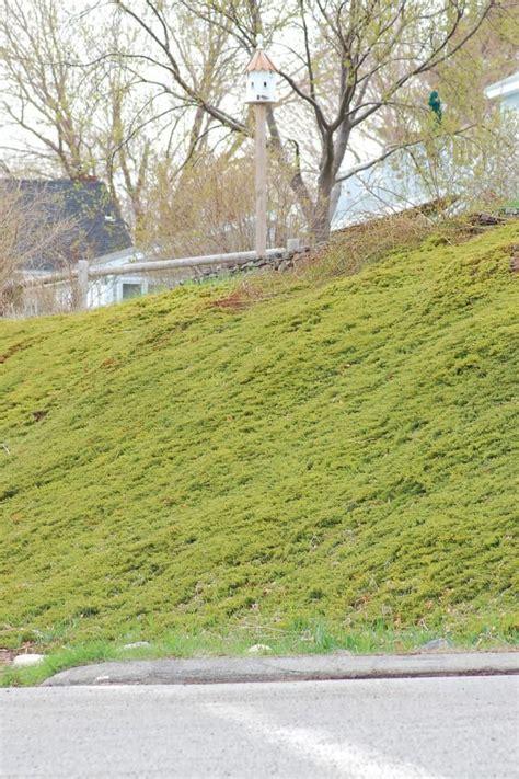 Landscape Fabric For Slopes 37 Best Images About Juniperus On Juniper