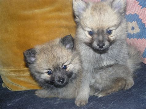 pomchi puppies pomchi breed pictures and photos breeds picture