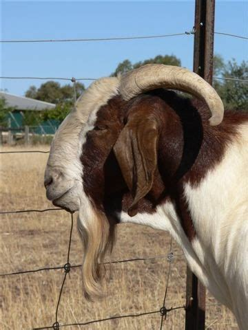 buck for sale in south africa margaret muir south boer goats for sale