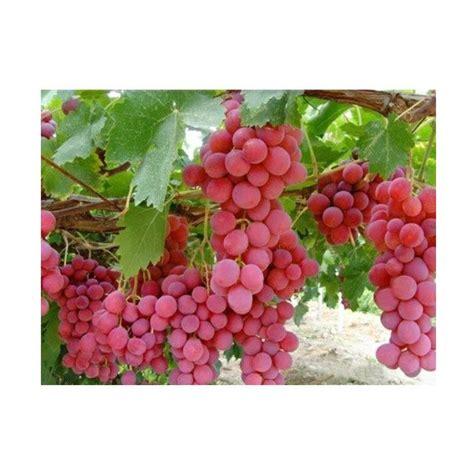 Benih Buah Anggur jual victory seed biji benih anggur merah import tanaman buah 10 butir harga