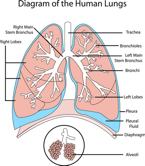 the human lungs diagram how do we breathe lungs and pleura interactive