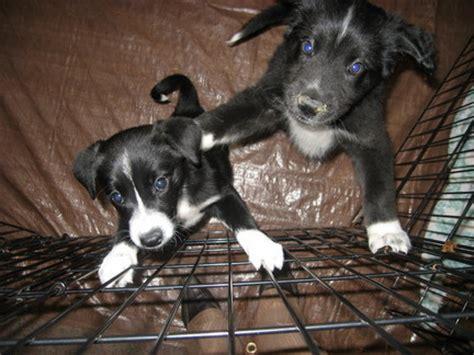 border collie pitbull mix puppies border collie pitbull mix temperament