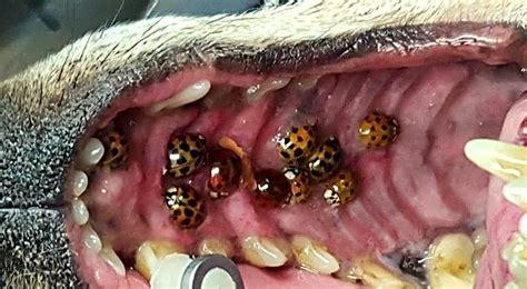 ladybugs in dogs image gallery bug