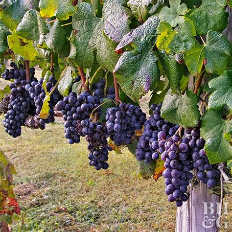 Do You To Use Organic Grapes For A Detox by How To Grow Grapes