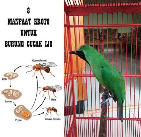 Meracik Pakan Branjangan pakan burung archives kicau burung