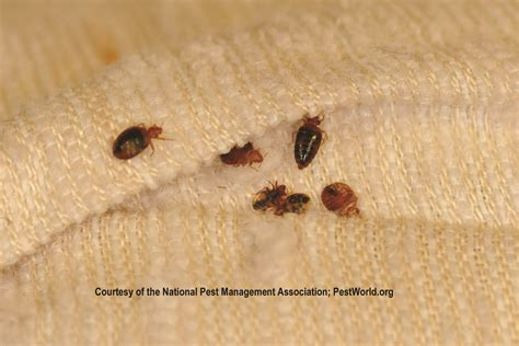 bed buggs bed bug pictures crowdbuild for