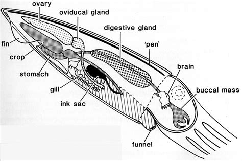 squid labeled diagram you ll never think of pens the same uluokala