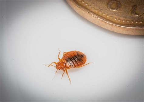 bed bug habitat bed bugs life cycle and habitat toronto bed bug