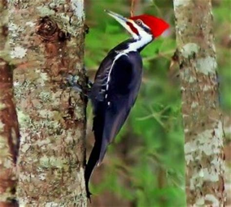 types of woodpeckers what do woodpeckers eat