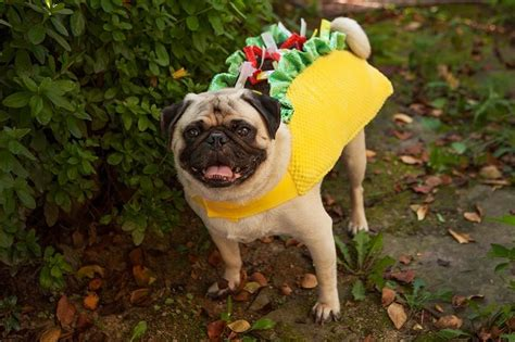 pug in taco costume r pugs photo contest costume edition pugs