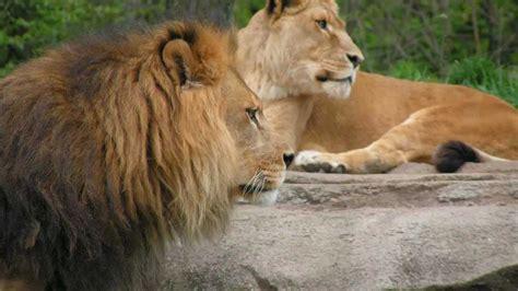 imagenes de animales salvajes para niños sonidos de animales salvajes para ni 241 os youtube