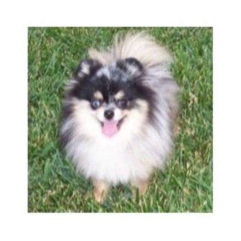 pomeranian breeders in ohio pearl moon pomeranians pomeranian breeder in mansfield ohio