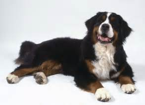 large non shedding bernese mountain breeds picture
