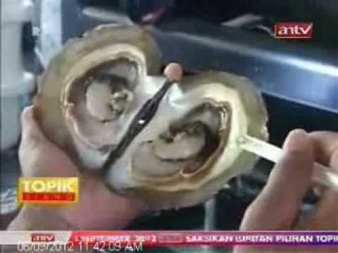 Bando Mutiara 0 6 proses panen mutiara pusat mutiara lombok www pusatmutiaralombok