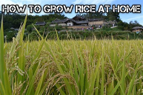 how to grow rice at home shtf prepping homesteading