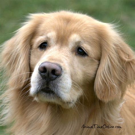 snyder golden retrievers 120 best images about adorable animals on cats boston terriers and tuna melts