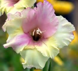 gladiolus flowers gladiolus flower pictures white gladiolus flowers