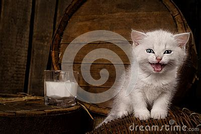 white pussy cat cat with milk royalty free stock images image 30830319