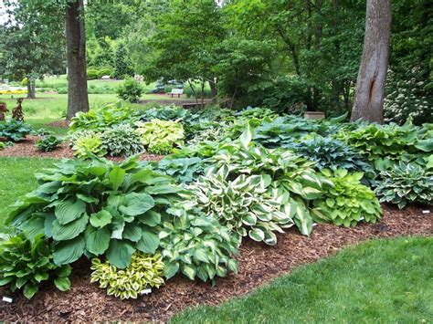 Landscape Design With Hostas Dr Dan S Garden Tips Handsome Hostas