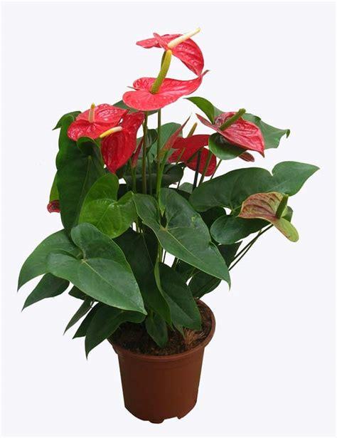 anthurium fiore vs girasoli ritrovo fiore