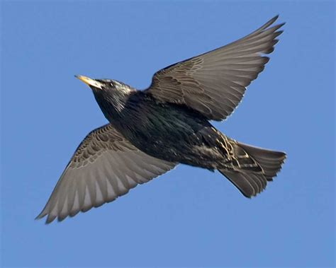 european starling audubon field guide
