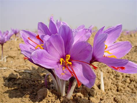saffron the king of spices heal advice