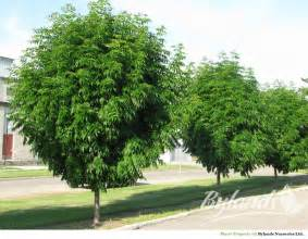 manchurian ash fraxinus mandshurica mancana bylands nurseries