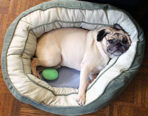 pug in bed pug slope 187 bed