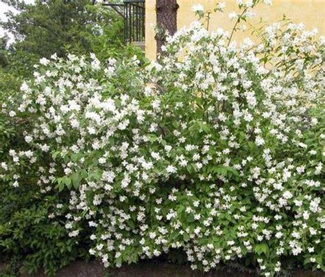 arbusto con fiori bianchi profumati il fiore dell angelo paperblog