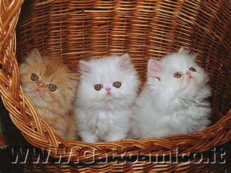 foto persiani gatto persiano il gatto a pelo lungo