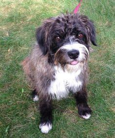 havanese rochester ny adopt me on standard poodles cockapoo and about me