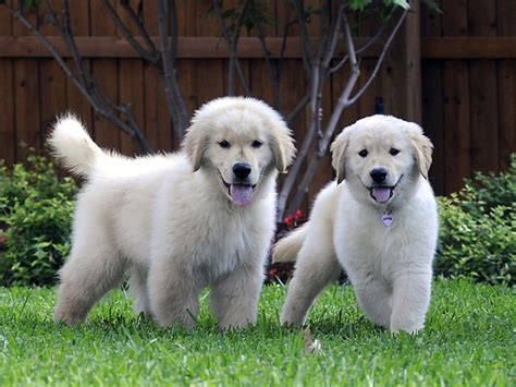 pictures of a golden retriever puppy cool pets 4u golden retriever puppy pictures