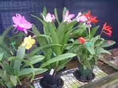 pupuk anggrek bunga lebat tanaman bunga hias