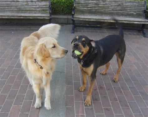 golden retriever x rottweiler 301 moved permanently
