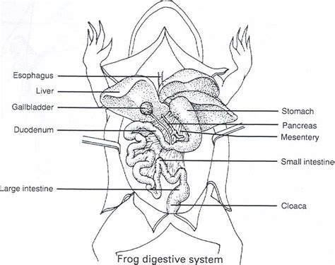 Frog Dissection Worksheet by Dissection Of The Frog