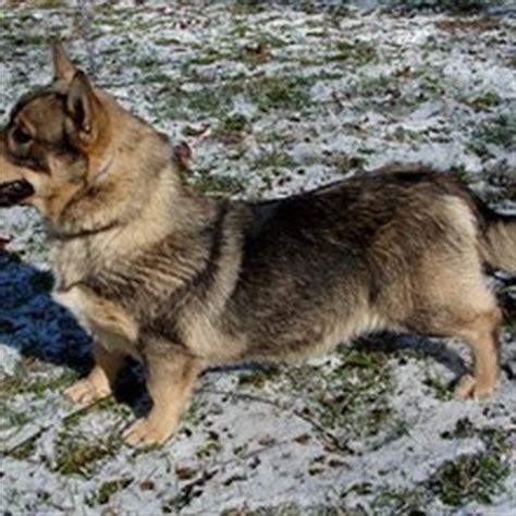 vallhund puppies swedish vallhund puppies for sale