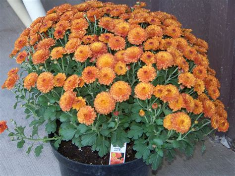 Floor And Decor Arvada Co by When To Plant Mums 28 Images Types Of Mums Hgtv