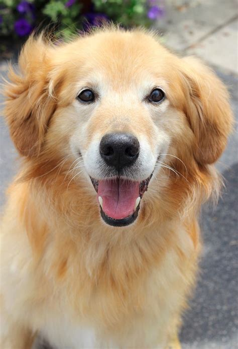 golden retriever rescue toledo best 25 golden retrievers for adoption ideas on child friendly dogs