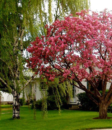 100 non fruit bearing crabapple trees growing