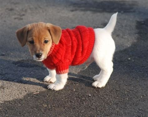 puppies in sweaters adorable puppies cuteness puppies adorable puppies animal sweater dogs in