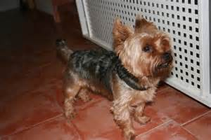 how do you potty a yorkie how to house a puppy in the winter breeds picture