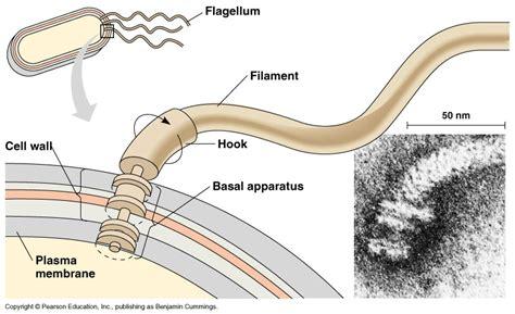diagram of flagella print page
